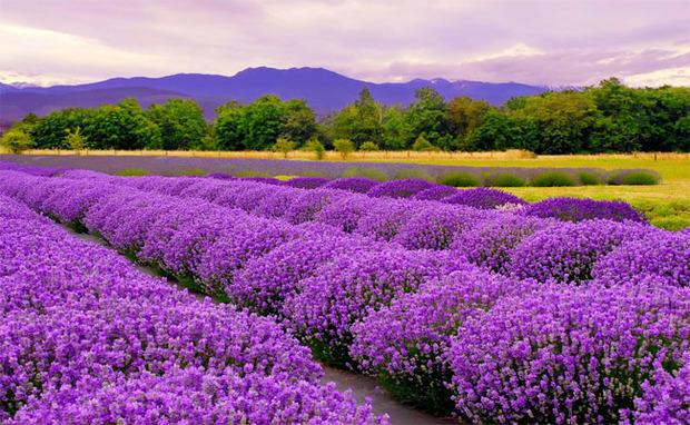 Rừng hoa oải hương mang sắc tím lãng mạn